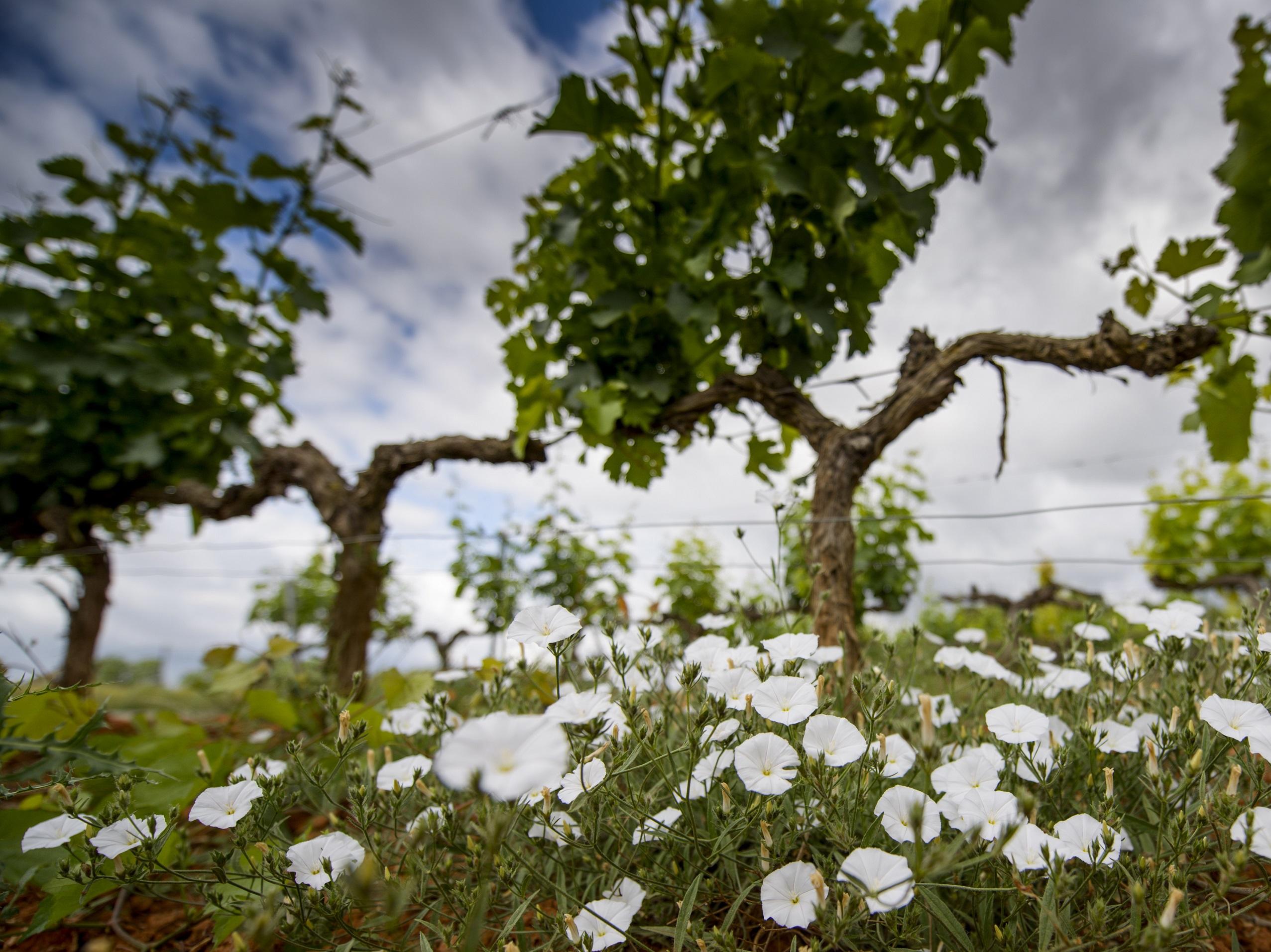 Vinyes de Família Torres al Penedès | Família Torres