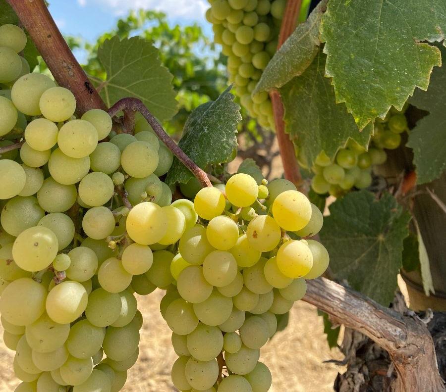 Raïm d'una vinya de la DO Penedès | DO Penedès